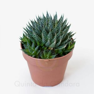 Aloe aristata (2)