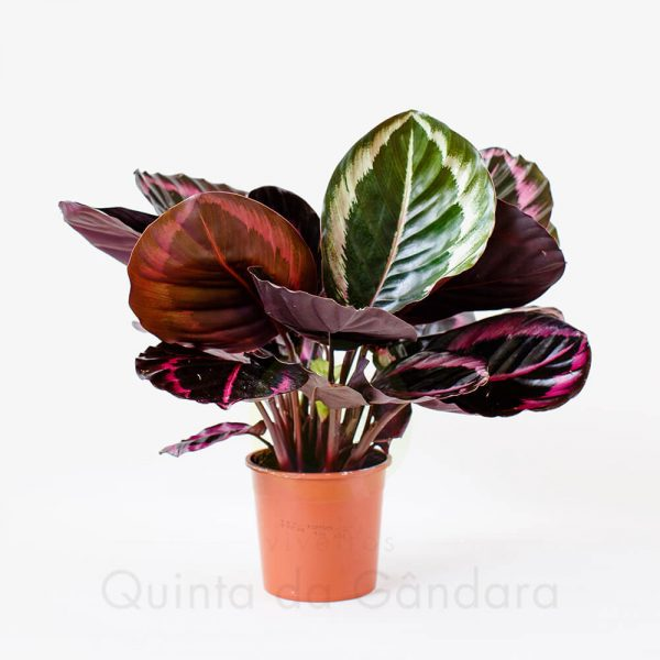 Calathea Roseopicta Surprise Star