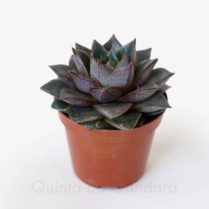 Echeveria Purper