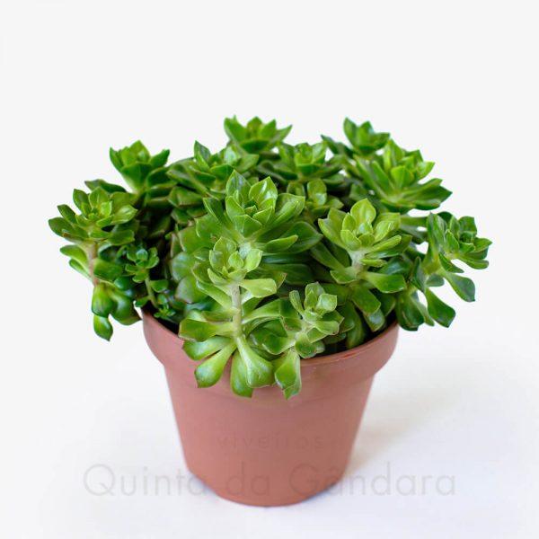 Echeveria affinis (2)