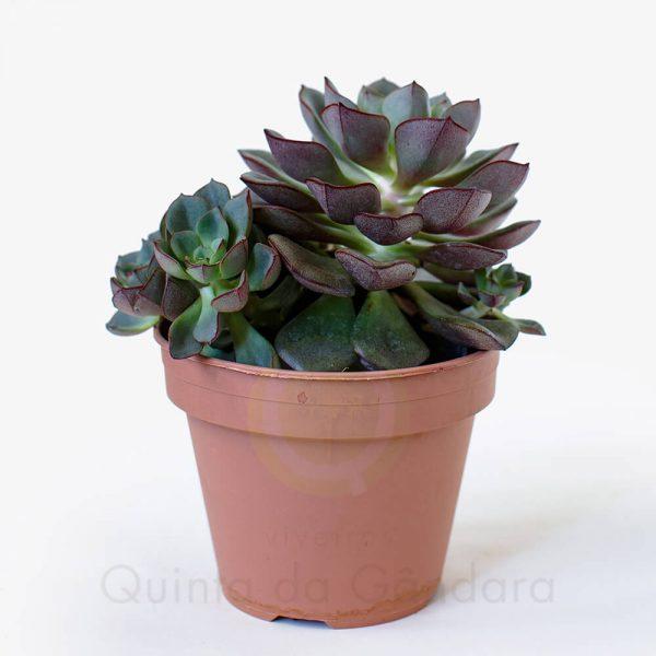 Echeveria moranii (2)