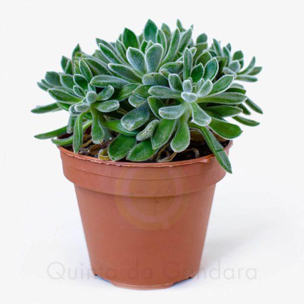 Echeveria pilosa (2)