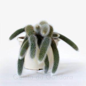 Hildewintera Colademononis (Cacto Rabo de Macaco)