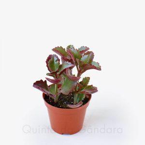 Kalanchoe Pinnatum (3)