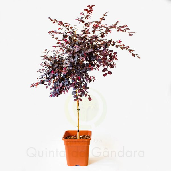 Loropetalum Red in black