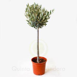 Oliveira COPA