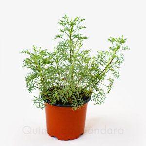 Planta absinto