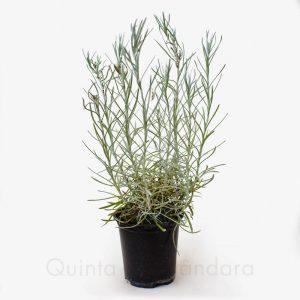 Planta caril