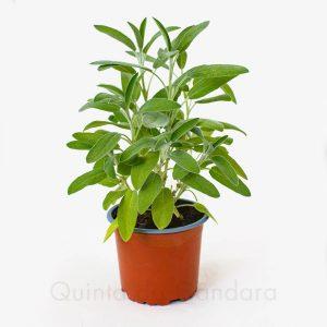 Salvia officinalis (2)