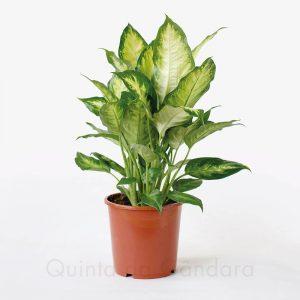 dieffenbachia camila V17