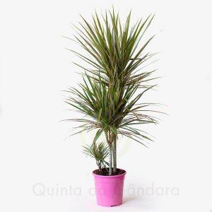 dracaena marginata bicolor