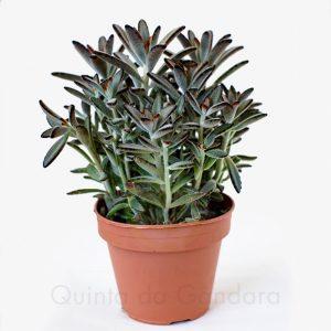 kalanchoe tomentosa nigra (2)