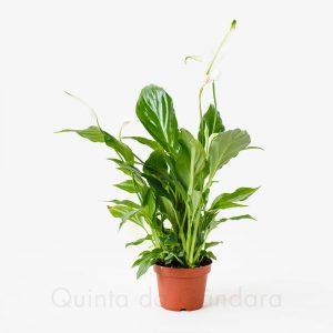 spathiphyllum V9